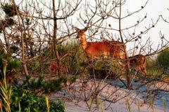 Yound-Rotwild bei Sonnenuntergang auf Feuer-Insel stockfotos