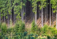 Yound small evergreen tree tall spruce pine forest Royalty Free Stock Photo
