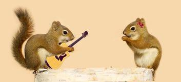 Yound wiewiórki w miłości. Obrazy Stock