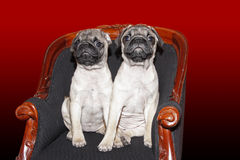 Young 10 months old pugs Stock Photos