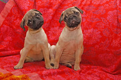 Young 10 weeks old pugs Stock Photos
