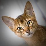 Young abessinier cat Stock Image