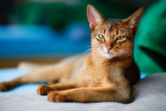 Young Abyssinian Royalty Free Stock Image