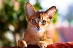 Young Abyssinian cat Royalty Free Stock Images