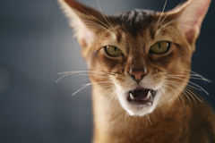 Young abyssinian cat licking lips closeup portrait Stock Photography