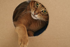 Young abyssinian cat playing inside cardboard house from box Royalty Free Stock Photos