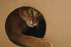 Young abyssinian cat playing inside cardboard house from box Stock Images