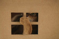Young abyssinian cat playing inside cardboard house from box Stock Photography