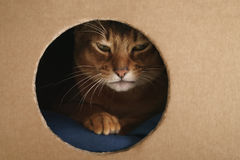 Young abyssinian cat playing inside cardboard house from box Royalty Free Stock Photo