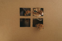 Young abyssinian catplaying inside cardboard house from box. 8 month kitten Royalty Free Stock Photos