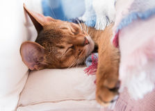 Young Abyssinian red cat sleep in bed. Sweet kitten under pink and blue blanket. Pastel color photo. Royalty Free Stock Photography
