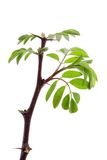 Young acacia leaves Royalty Free Stock Photography