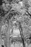 Young acacia trees Royalty Free Stock Photos
