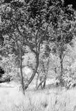 Young acacia trees Stock Image