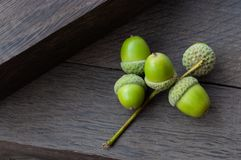 Young acorns on bog oak. background. Concept: youth and old age stock images