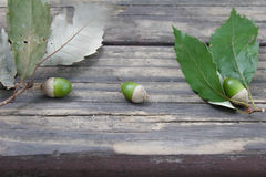 Young acorns Stock Images