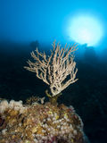 Young Acropora Coral Stock Image