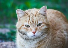 Young active сat with green eyes on summer grass background in a country yard. Young active red cat with green eyes on summer grass background in a country stock photography