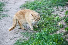 Young active сat with green eyes on summer grass background in a country yard. Young active red cat with green eyes on summer grass background in a country royalty free stock images