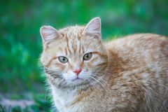 Young active cat with green eyes on summer grass background in a country yard. Young active red cat with green eyes on summer grass background in a country yard royalty free stock image