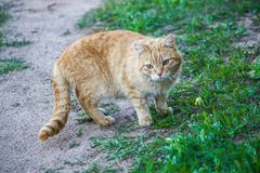 Young active cat with green eyes on summer grass background in a country yard. Young active red cat with green eyes on summer grass background in a country yard stock photo