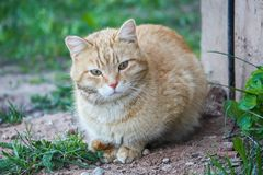 Young active сat with green eyes on summer grass background in a country yard. Young active red cat with green eyes on summer grass background in a country stock image