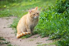 Young red cat with green eyes on summer grass background in a country yard. Young active red cat with green eyes on summer grass background in a country yard royalty free stock photos