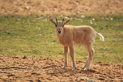 Young addax Royalty Free Stock Images