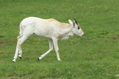 Young addax Stock Photo