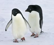 Young adelie penguins walking on snow. Overall plan stock images