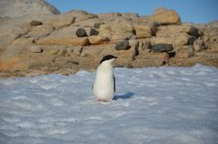 Young adelie penguin walking on stony ground. Sunny day stock images