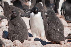 Young adelie penguins and their mother Stock Images