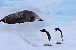 Young adelie penguins walking on the snow during the day. Young adelie penguins walking the snow during the day. Nearby the seal is sleeping and warming royalty free stock images