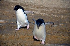 Young adelie penguins walking on stony ground. Sunny day. Young adelie penguins walking on stony ground. gray day.The group heads along the lake for a walk stock photo