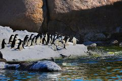 Young adelie penguins walking on stony ground. Overall plan. Young adelie penguins walking on stony ground. Day, exploratory walk of the family. Antarctic stock photo