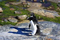 Young adelie penguins walking on stony ground. Sunny day. Young adelie penguins walking on stony ground. gray day.The group heads along the lake for a walk royalty free stock photo