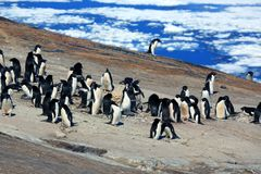Young adelie penguins walking on stony ground. Sunny day. Young adelie penguins walking on stony ground. gray day.The group heads along the lake for a walk stock photography