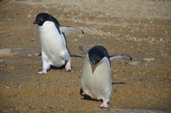 Young adelie penguins walking on stony ground. Sunny day. stock photos
