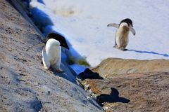 Young adelie penguins walking on stony ground. Sunny day. Young adelie penguins walking on stony ground. gray day.The group heads along the lake for a walk royalty free stock photos