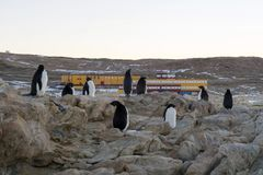 Young adelie penguins walking on stony ground. Sunny day. Young adelie penguins walking on stony ground. gray day.The group heads along the lake for a walk stock images