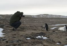 Young adelie penguins walking on stony ground. Sunny day. stock image