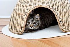 Young adorable cute cat is hiding playing Royalty Free Stock Image