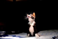 Young Adorable Kitten Royalty Free Stock Image