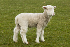 Young, adorable white lamb stading in grass field Stock Photos