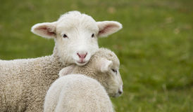 Young, adorable white lamb stading in grass field Royalty Free Stock Image