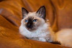 Sacred Birman kitten Royalty Free Stock Images