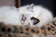 Sacred Birman kittens Royalty Free Stock Photo