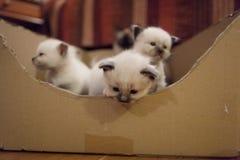 Sacred Birman kittens Stock Photo