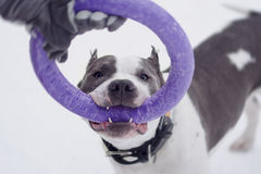 Young adult beautiful american staffordshire terrier dog jump to puller in winter on snow. Young adult beautiful grey and white american staffordshire terrier Stock Photography