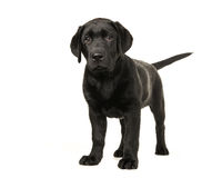 Young adult black labrador retriever standing Royalty Free Stock Photo